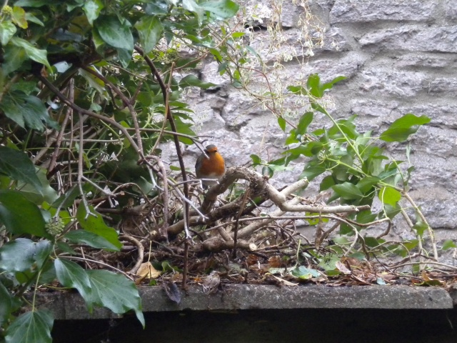 Robin helps to clear the wall
