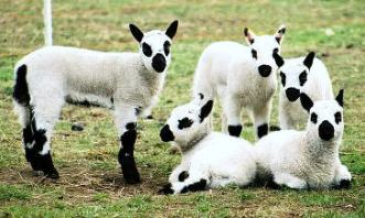 Kerry hill lambs