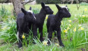 zwartble lambs