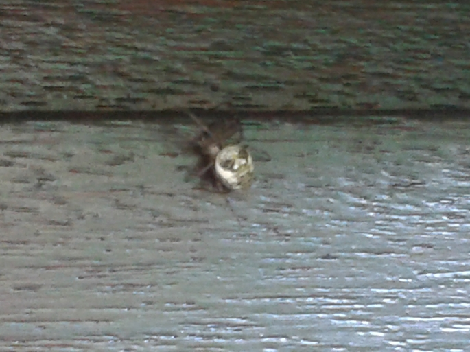 spider  - without flash