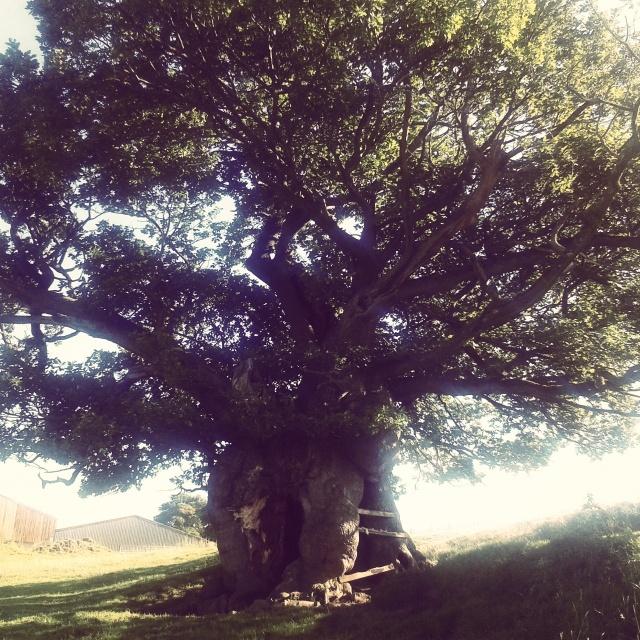 oak ... probably
