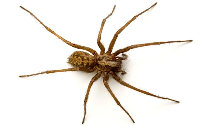 A boris, otherwise known as a common brown house spider